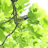 Male Golden-winged Warbler on Monte Sano