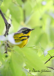 Magnolia Warbler Setophaga magnolia Monte Sano Mountain, north Alabama Canon 6d, Canon 500 F4 IS lens, 1.4xII converter ISO 3200, f/7.1, 1/400s April 30, 2014 Storms had passed through the day before.