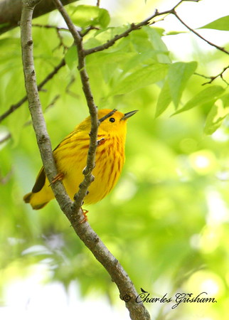 yellow warbler 40d raw decatur al 2 cp