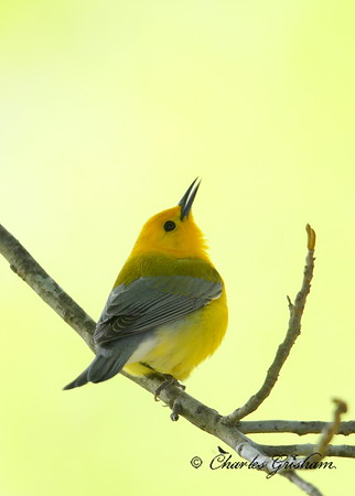 prothonotary warbler 40d raw rogers house 4 c