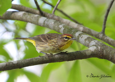 palm warbler 40d raw rogers house cp