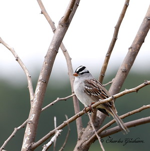 White-crowned Sparrow - GPS