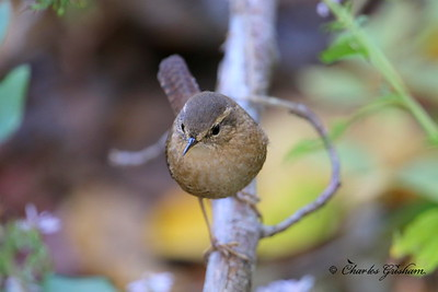 Winter Wren / North Alabama / Berry Hill - GPS / November 2, 2014 / 7d Mk II