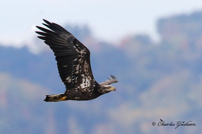Bald Eagle / North Alabama / Guntertsville Lake - GPS / Canon 7d Mk II