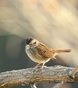 Swamp Sparrow / North Alabama / Swan Creek WMA Range - GPS / November 21, 2014 / 7dmkii
