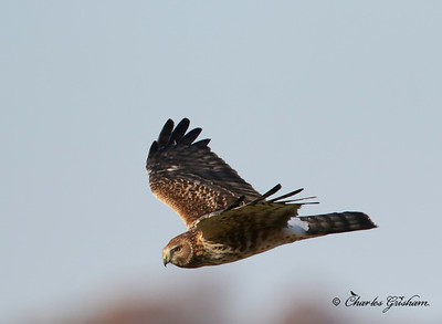 Northern Harrier / North Alabama / Limestone County - GPS / November 18, 2014 / 7d mk ii
