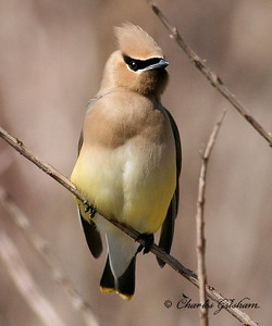 Cedar Waxwing in Decatur, Alabama.