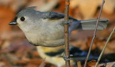 Tufted Titmouse on Berry Mountain in north Alabama.