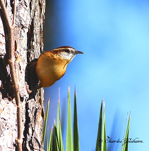 I photographed this cool little Carolina Wren in jacksonville, Florida during early morning.  It was hanging out in our neighborhood, about 2 nautical miles from the Atlantic Ocean, just on the other side of the intercoastal waterway.  I took this photograph using  Canon 40d and the 400 5.6 prime lens.  Shot in raw, converted using Digital Photo Professional.