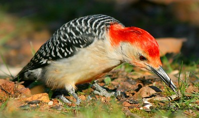 Red-bellied Woodpecker on Berry Mountain in north Alabama.