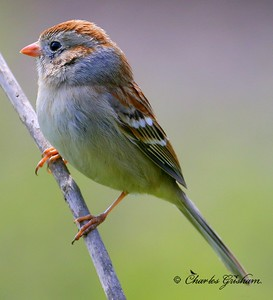 Field Sparrow at the Whitacker Nature Preserve in northeast Alabama.