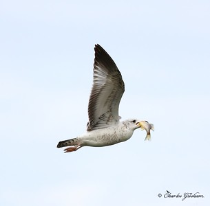 gull in flight with fish in guntersville alabama 4_filtered