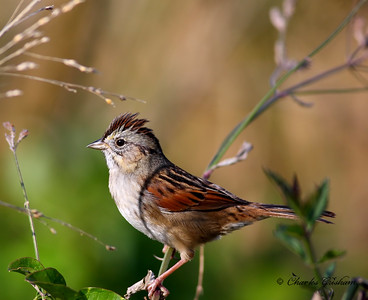 Swamp Sparrow in Decatur, Alabama on 12-14-09.  Canon 40d with 400 prime lens, shot hand held.