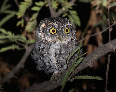 Whiskered Screech Owl near Harshaw in Southeast Arizona.