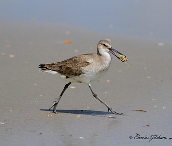 Willet with a Sand Flea in Jacksonville Florida.