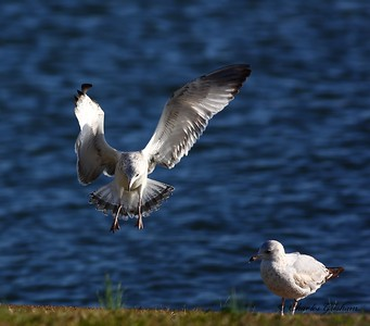 gull landing in guntersville, alabama filtered