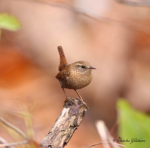 Winter Wren in Decatur, Alabama.  Canon 40d with 400 prime, hand held.