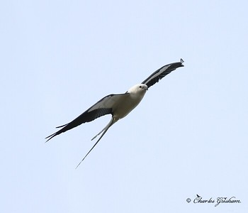 Swallow Tailed Kite in Jacksonville, Florida