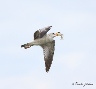 gull in flight with fish in guntersville alabama 3_filtered