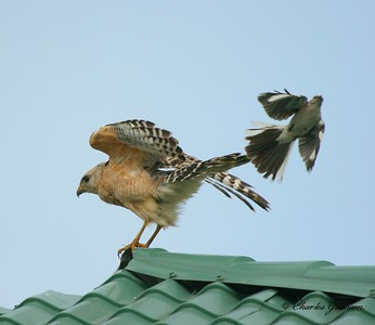 A Mockingbird attacking a Red Shouldered Hawk in Orlando, Florida.