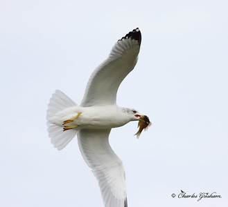 gull in flight with fish in guntersville alabama 7_filtered