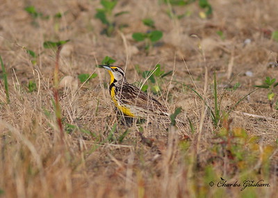 Meadowlark in Gurley Alabama.  Canon 550d with Canon 400mm 5.6 lens.