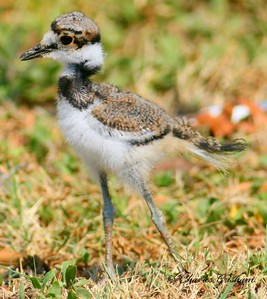 Baby Kildeer in Morgan County, Alabama.