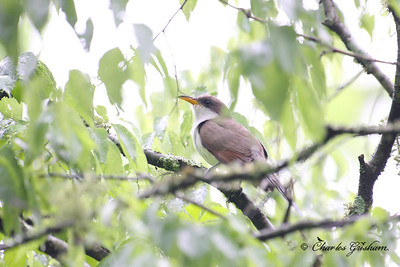 Yellow Billed Cuckoo at the Walls of Jericho in north Alabama.  Canon 40d, 500mm f4 lens.