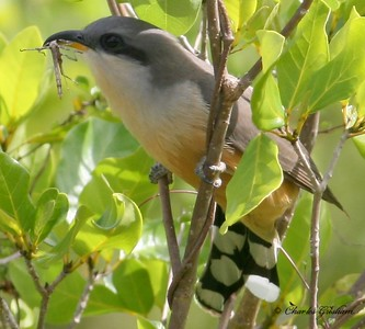 Mangrove Cuckoo with a Walking Stick in Coral Bay at Saint John, U.S. Virgin Island. Saint John