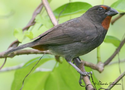 Lesser Antillean Bullfinch at Coral Bay in Saint John, U.S. Virgin Islands.