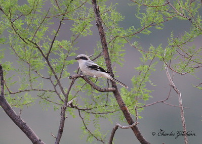 Loggerhead Shrike near Portal, Arizona.  2012