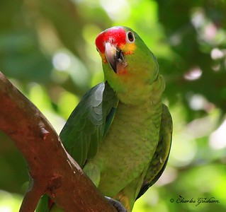 A Red-Crowned Parrot on Isla Roatan.
