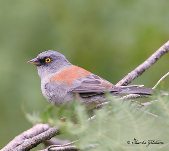 Yellow-eyed Junco / Southeast Arizona / Mount Graham / September 4, 2014 / GPS