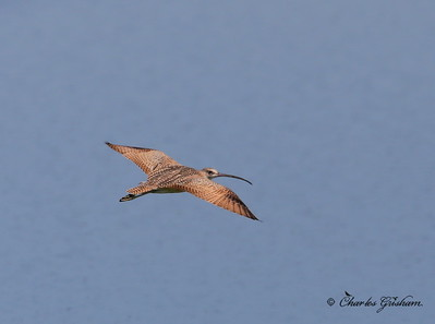 Long-billed Curlew / Southeast Arizona / Willcox Playa / September 1, 2014 / GPS