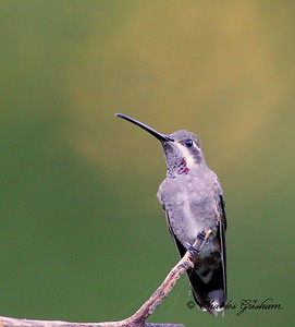 Plain-capped Starthroat / Southeast Arizona / Madera Canyon / September 5, 2014