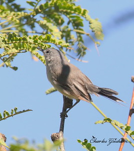 Black-capped Gnatcatcher / Southeast Arizona / Florida Canyon / September 5, 2014