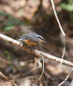 Red-breasted Nuthatch / Southeast Arizona / Carr Canyon - GPS / August 30, 2014 / 6d