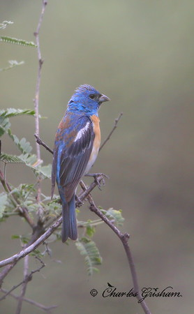 Lazuli Bunting / Southeast Arizona / Harshaw - Patagonia Mountains / September 3, 2014 / GPS