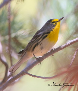 Grace's Warbler / Southeast Arizona / Carr Canyon / August 30, 2014 / GPS
