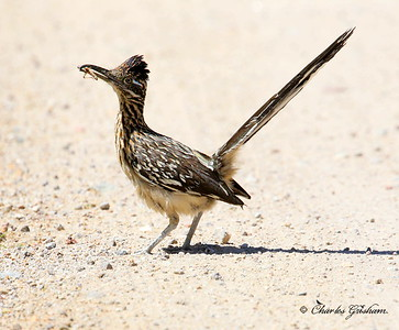 Greater Roadrunner / Southeast Arizona / Carr Canyon / August 30, 2014 / GPS