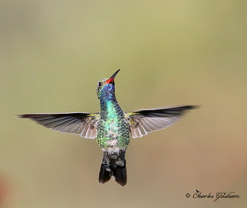 Broad-billed Hummingbird / Southeast Arizona / Madera Canyon / September 5, 2014 / GPS