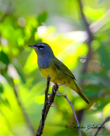 MacGillivray's Warbler / Southeast Arizona / Patagonia Preserve / August 30, 2014 / GPS