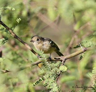 Hutton's Vireo / Southeast Arizona / Patagonia Mountains / August 31, 2014 / GPS