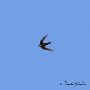 White-throated Swift / Southeast Arizona / Sycamore Canyon - GPS / September 2, 2014 / 6d