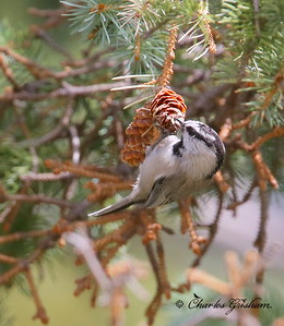 Mountain Chickadee / Southeast Arizona / Mount Graham / September 4, 2014 / GPS