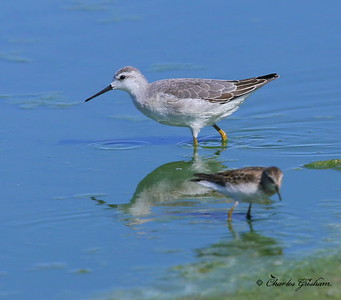 Wilson's Phalarope / Southeast Arizona - Willcox Playa - GPS / September 1, 2014 / 6d