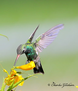 Broad-billed Hummingbird / Patagonia