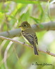 Cordilleran Flycatcher / Southeast Arizona / Florida Canyon / September 5, 2014