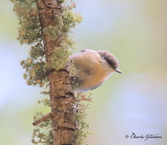 Pygmy Nuthatch / Southeast Arizona / Mount Graham / September 4, 2014 / GPS