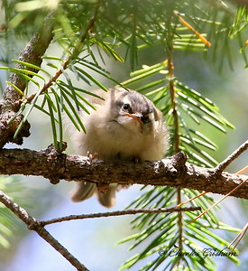 Golden-crowned Kinglet (western) / Southeast Arizona / Mount Graham / September 4, 2014 / GPS